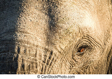 Close up of an African elephant eye.
