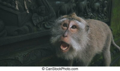 close-up of an aggressive rhesus monkey attacking the camera...
