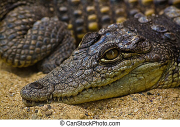 Close up of an alligator in a zoo