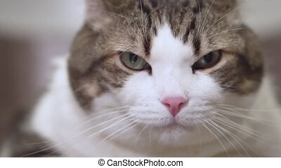 Close up of an angry cat looking at camera. - Close up of an...