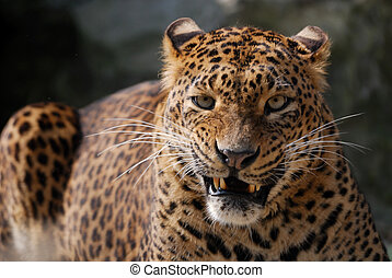 angry leopard - close-up of an angry leopard