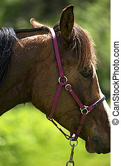 Close-Up of an Arabian horse with a pink bridle.