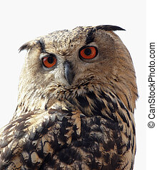 Close up of an Eagle Owl (Bubo bubo)