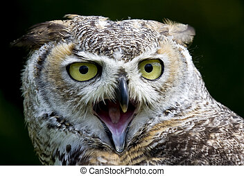 Eagle Owl - Close up of an Eagle Owl with big yellow eyes ...