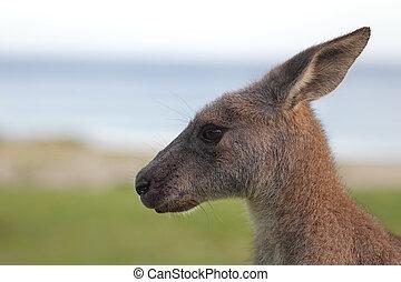 Eastern Grey Kangaroo (Macropus giganteus) - Close up of an ...