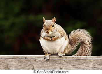 Eastern Grey squirrel sitting on a wooden fence