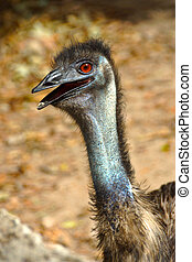 Close up of an emu (Dromaius novaehollandiae)