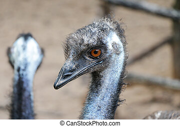 close up of an emu head, The emu is the second-largest living bird by height, after its ratite relative, the ostrich ,Portrait of Australian Emu