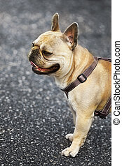 Close up of an English bull dog in the street