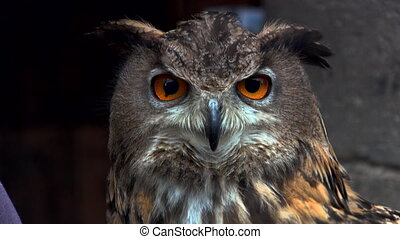 Close-up of an Eurasian eagle owl looking at the camera, title