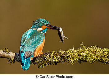 Close-up of an Eurasian kingfisher with a fish in the beak