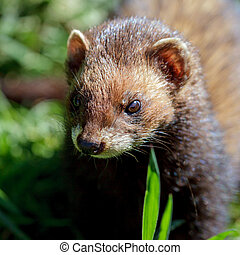 Close-up of an European Polecat (Mustela putorius)
