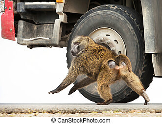 Olive Baboon chasing a car on the road in Ethiopia