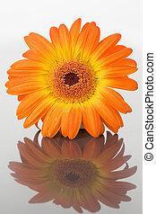 Close up of an orange gerbera on a mirror