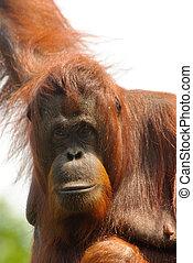 orangutan - close-up of an orangutan