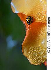 close up of an yellow ladybug