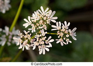 Close up of Anise flowers on green grass background.
