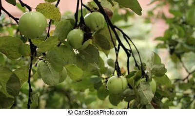 Close up of apples in a tree on summer time. Excellent crop...