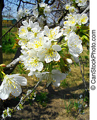 Close up of apricot blossoming br
