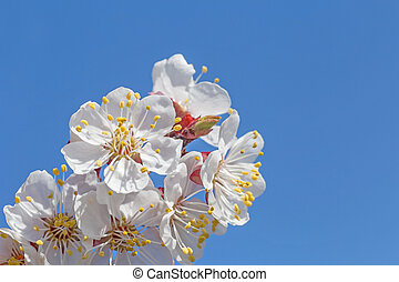 close up of apricot tree blossoming