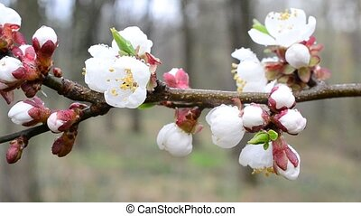Close-up of apricot tree flowers blown by wind - Prunus...