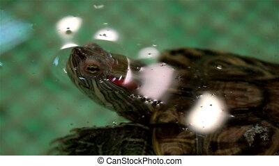 close up of Aquarium turtle swim