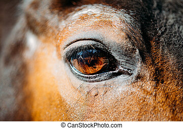 Close Up Of Arabian Bay Horse