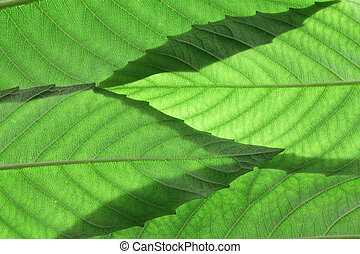 Ash Tree Leaves - Close Up of Ash Tree Leaves