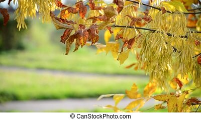 Close up of ash tree yellow leaves in autumn
