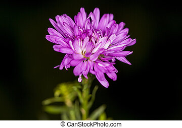 close up of asters flower