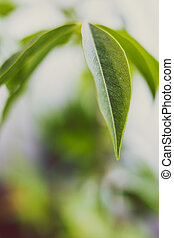 close-up of Australian chestnut plant shot at extremely shallow depth of field