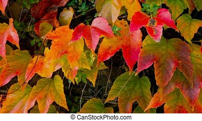 Close up of autumn fence of red ivy leaves - Close up of...