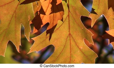 autumn leaves - close up of autumn leaves