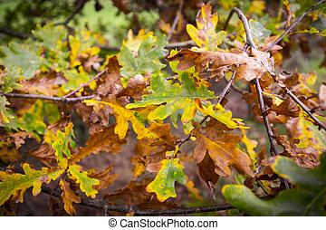 close up of autumn oak leaves on a branch