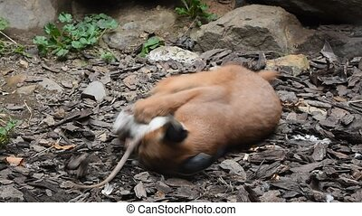Close up of baby caracal playing with dead rat - Close up...