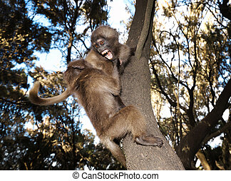 Close-up of baby Gelada monkey playing in tree