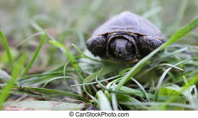 Close up of baby turtle - little baby turtle lies on the...