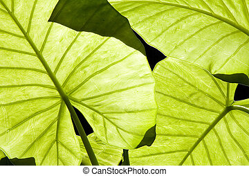 Close-up of backlit Alocasia green leaves showing venation
