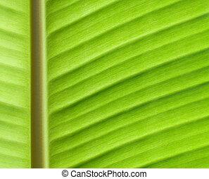 close up of backlit banana leaf