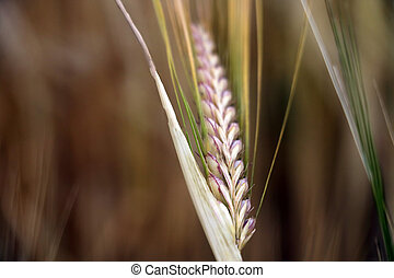 close-up of barley ears with blurry background, selective focus.