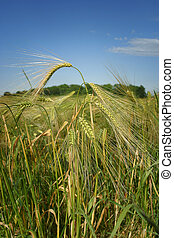Close up of barley stalks, in a field.