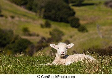 basking lamb