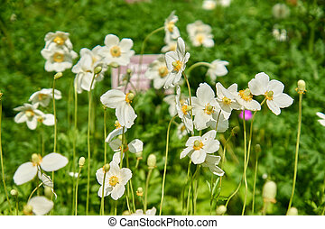 Close up of beautiful blooming anemone flowers in the garden.