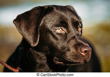 Close-up of Beautiful Brown Dog Head, Snout Of Lab Labrador...