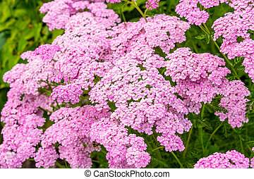 Close up of beautiful light pink flowers