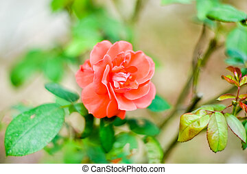 Close up of beautiful one red rose on green branch. Rose and bud on garden. Valentines background. Pink rose with fresh leaves branches. Spring summer wedding romantic elegant date marriage symbol.