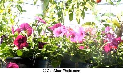 Close up of beautiful Pink Petunia Summer flowers
