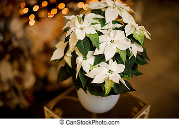 close-up of beautiful poinsettia flower with bright green and white leaves