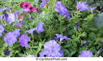 Close up of beautiful purple Petunia Summer flowers