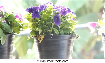 Close up of beautiful purple Petunia Summer flowers